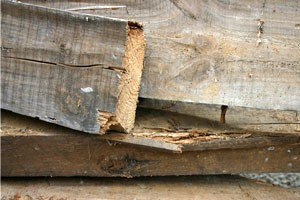 Woodworm
